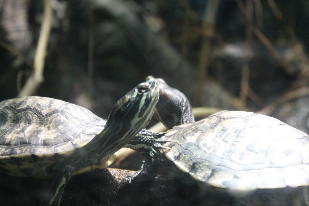 Kew tortoises